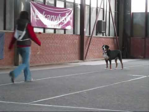 Great Swiss Mountain dog in Obedience competition - 184.5 points/ 3rd place!