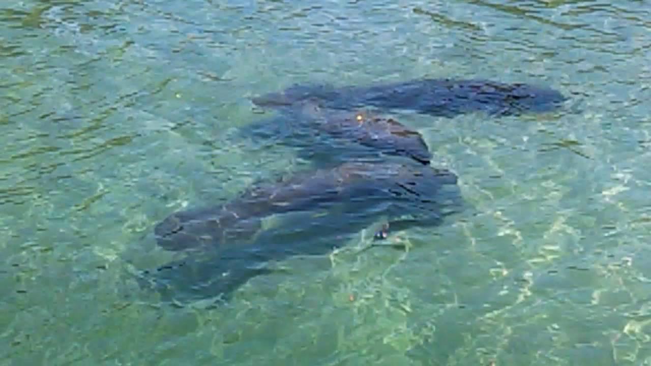 Male Manatee Calves Play Over A Spring | Carol Grant ... |Manatees Playing