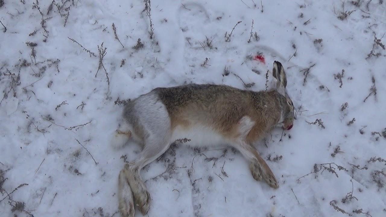 ☝▶ Зимняя охота на зайца 2018-2019. Открытие зимней охоты по зайцу