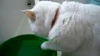 ちよは手(前足)で水をすくって飲みます。 2003年の動画。