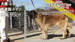 超大型犬レオンベルガーの紹介動画です。レオンベルガーは日本では毎年4...
