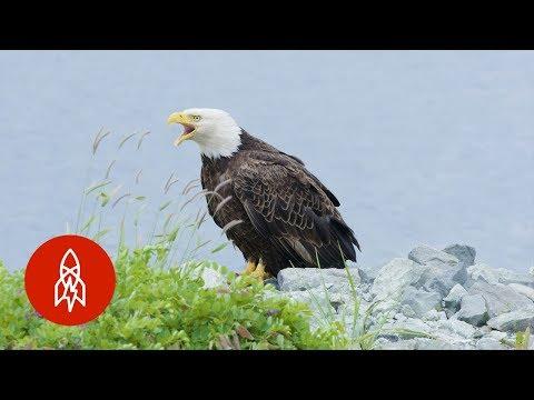 The Alaskan Town FULL of Bald Eagles