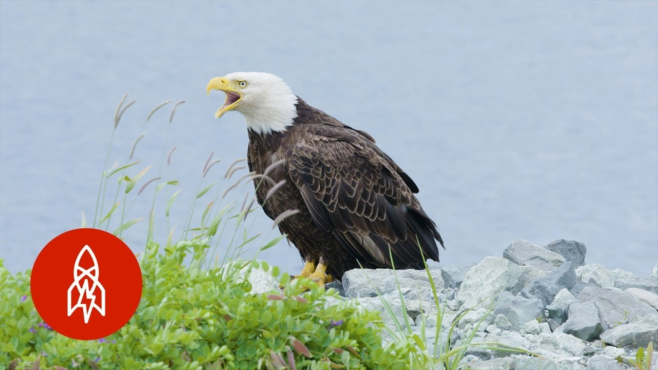 The Alaskan Town FULL of Bald Eagles - YouTube