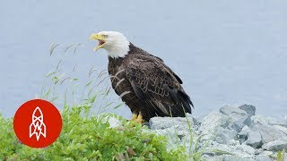 Island mullet Bald shaved eagle hair look