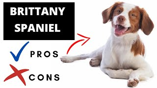 Brittany Spaniel Pros And Cons | The Good AND The Bad!!