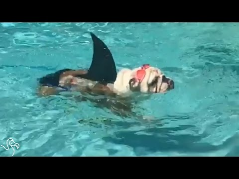 Bulldog Knows Exactly How To Celebrate Shark Week