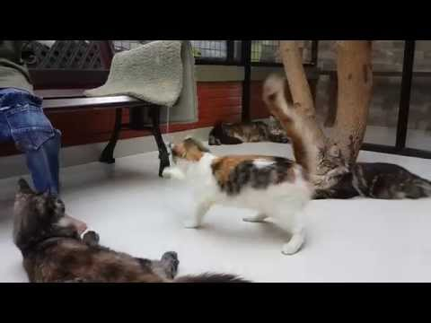 maine-coon-playing