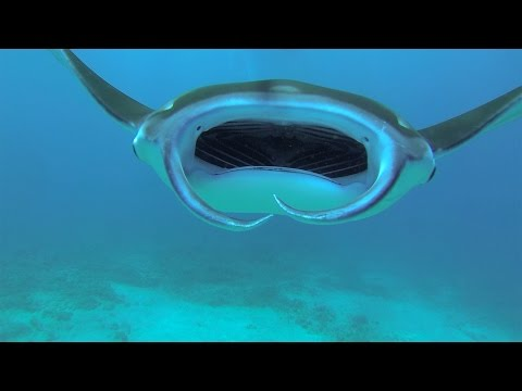 Swimming Manta Ray Looks Like a Spaceship