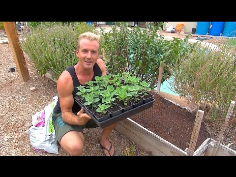 Planting Ashwagandha - The Perfect Soil for Raised Beds