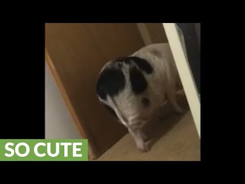 Piggy wags his tail when owner talks to him