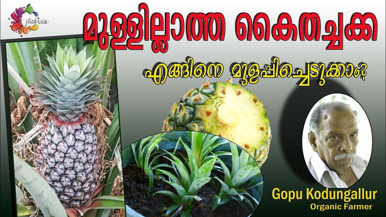 Thornless Pineapple   മുള്ളില്ലാത്ത കൈതച്ചക്ക   ഗോപു കൊടുങ്ങല്ലൂർ   Gopu Kodungallur   Germination