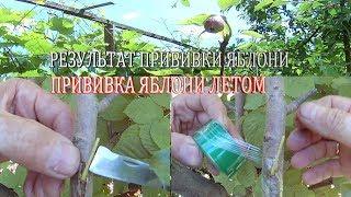 Прививка яблони летом от А до Я и до результата.Прививка плодовых деревьев.Как привить яблоню.
