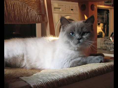 Colorpoint Shorthair Cat 2