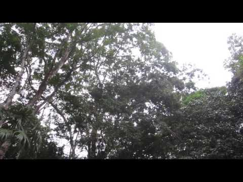 Tikal - Howler Monkeys