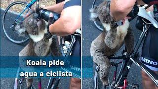Koala frena a ciclista para que le de agua