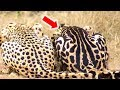Amazing Facts About The King Cheetah