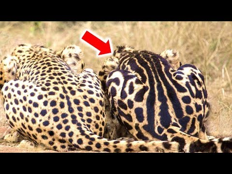 Amazing Facts About The King Cheetah - YouTube