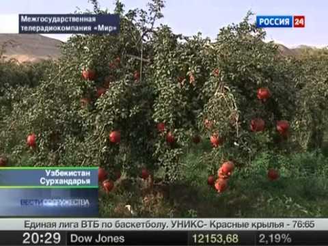 Самые крупные гранаты выращивают в Узбекистане