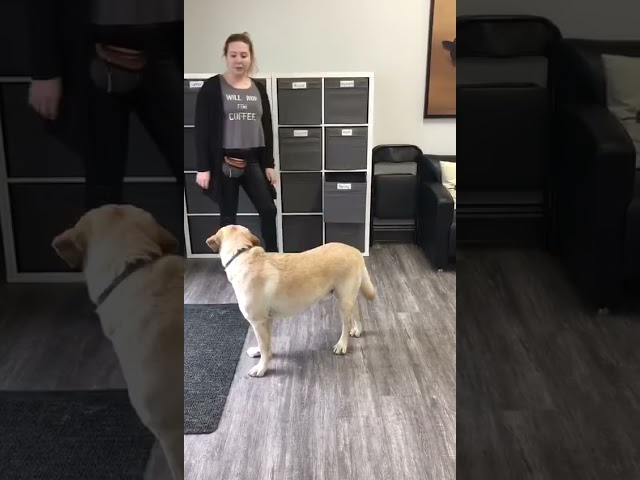 Barclay Being a Great Helper at School! | Aspen Service Dogs