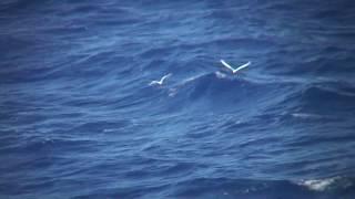 シロアジサシ(1)飛翔(北硫黄島近海) - White Tern - Wild Bird - 野鳥 動画図鑑