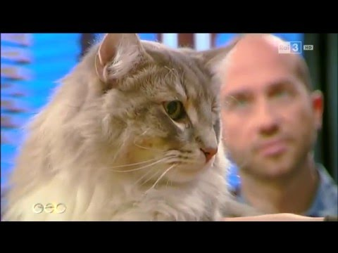 Il Gatto Norvegese Delle Foreste Geo Del 28032016 Youtube