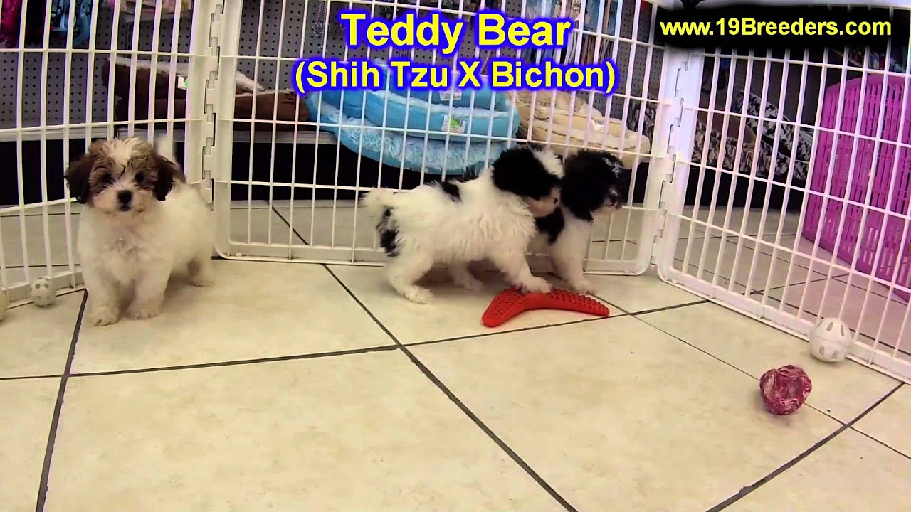 Teddy Bear Puppies For Sale Inomaha Nebraska Ne