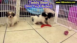 Teddy Bear, Puppies, For, Sale, In,omaha ,nebraska, Ne,lincoln, Bellevue, Grand Island