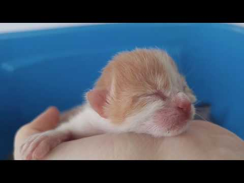 Tiny newborn kitten. Day 1. Crying