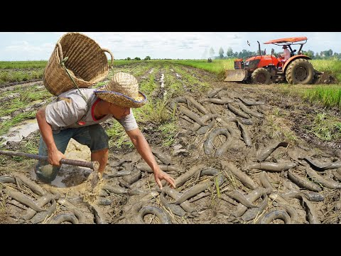 Unbelievable Fishing Dry Season - Catch Catfish U0026 Copper SnakeHead Fish After Tractor Prepare Soil