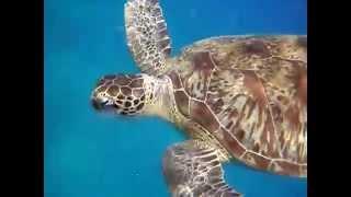 Черепаха ест медуз
