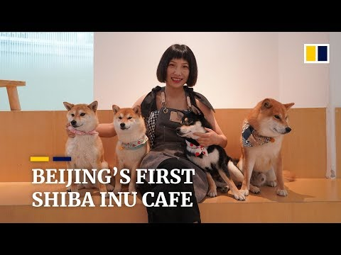 Beijings first Shiba Inu dog cafe is a crowd pleaser