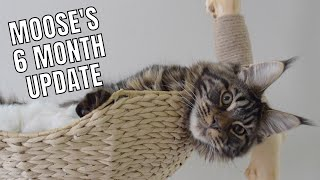 Maine Coon Moose's 6 Month Update