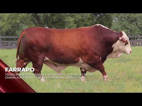 Touro Farrapo - Braford indicado para IATF - RENASCER BIOTECNOLOGIA VIDEO