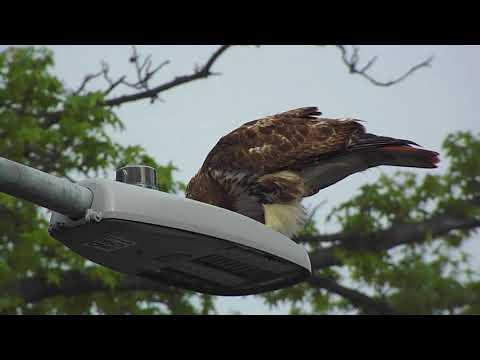 Queens Village Bird of Prey