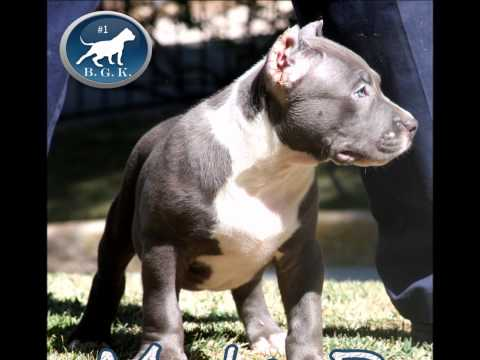 The largest bully pitbull,  pitbull puppies for sale, BGKs The Rock
