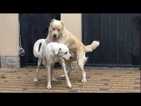 Среднеазиатская Овчарка и Турецкий Акбаш. Central Asian Shepherd Dogs and Turkish Akbash.