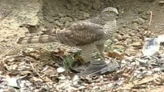 Впечатления от птицы Сокол :)
