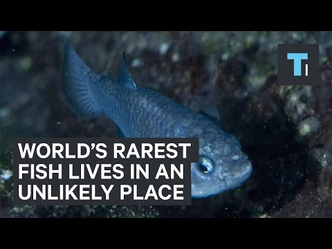 World's Rarest Fish Lives In An Unlikely Place