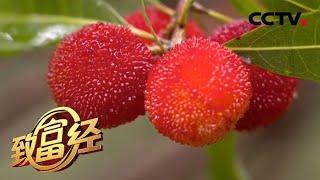 《致富经》 20200729 黄山脚下杨梅红| CCTV农业 - YouTube