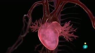 Inteligencia del Corazón El campo magnético cardíaco