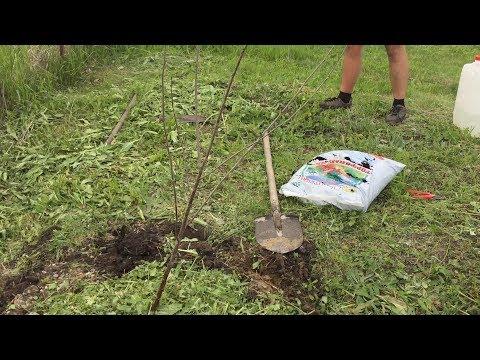 Как правильно посадить черешню или другое плодовое дерево, чтоб оно прижилось. Секреты садовода. | правильно | посадить | черешню | саженец | сажаем | дерево | вишни | как | в