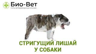 Стригущий лишай у собаки. Ветеринарная клиника Био-Вет.