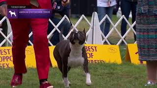 American Staffordshire Terriers | Breed Judging 2021