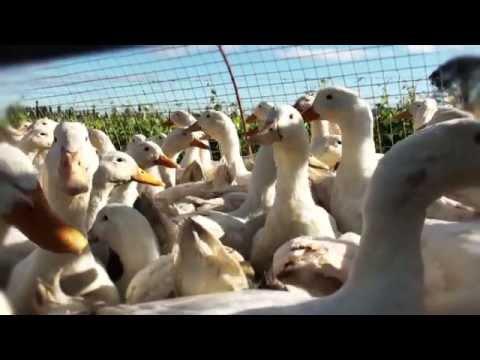 Escargot (Jonty's Ducks) Avondale Wine Farm