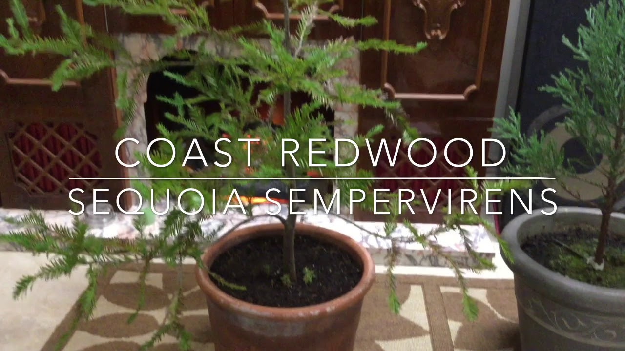 Giant California Redwoods Bonsai Style Youtube