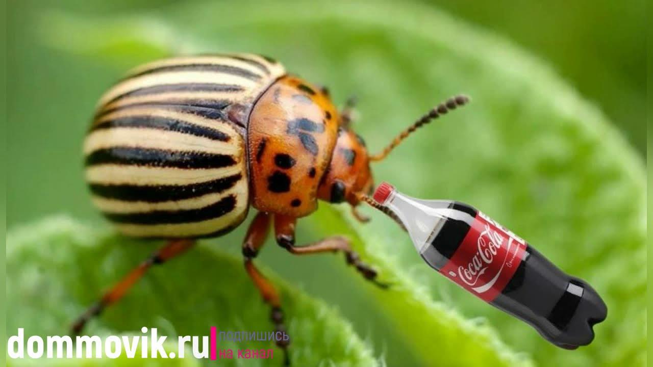 Кока кола применение на даче: полезный напиток в борьбе против вредителей