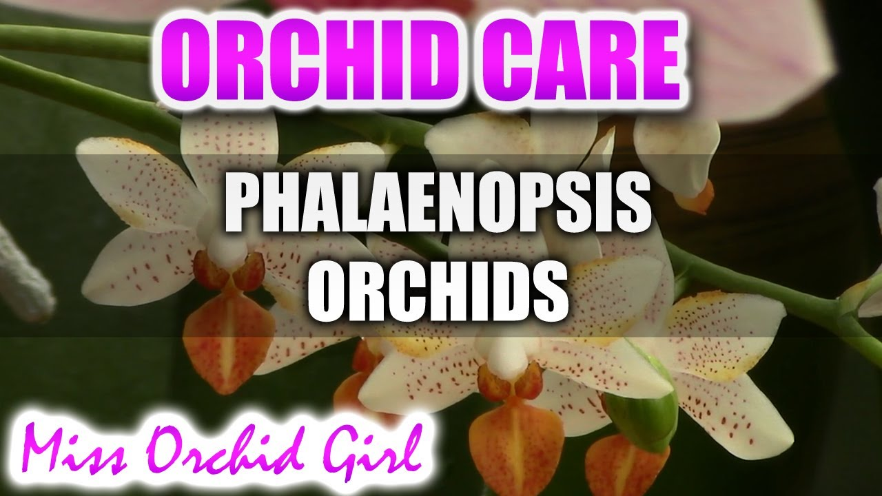 How To Care For Phalaenopsis Orchids Watering Fertilizing