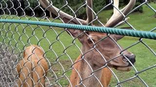 Зоопарк в Яремче Карпаты Западная Украина(Зоопарк в городе Яремче порадует посетителей жителями дикой природы Карпат. Там вас встретят орлы, фазаны,..., 2016-07-20T19:43:27.000Z)
