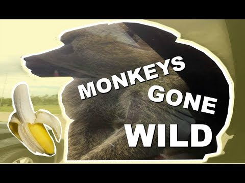 MONKEYS ATTACK CAR AND ALMOST GET RUNNED OVER - AFRICAN LION SAFARI
