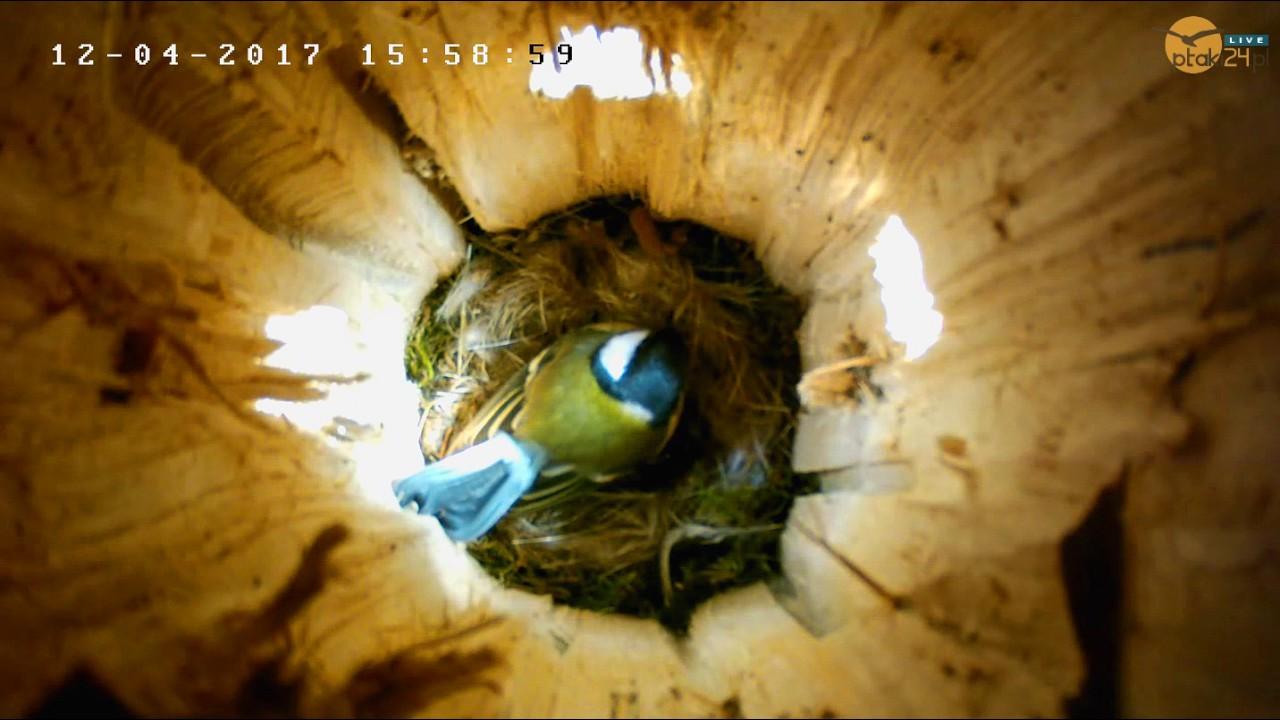 Bogatki mają już cztery jajka w dziupli lęgowej nad Soliną